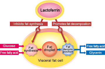 Lactoferrin suppresses genes that encourage the formation of fat droplets in fat cells